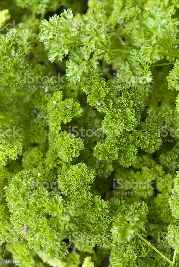 parsley vertical royalty-free stock photo