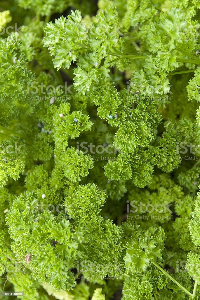 parsley vertical stock photo