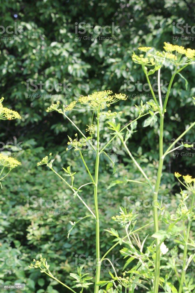 Parsnip, Wild (Pastinaca sativa) stock photo