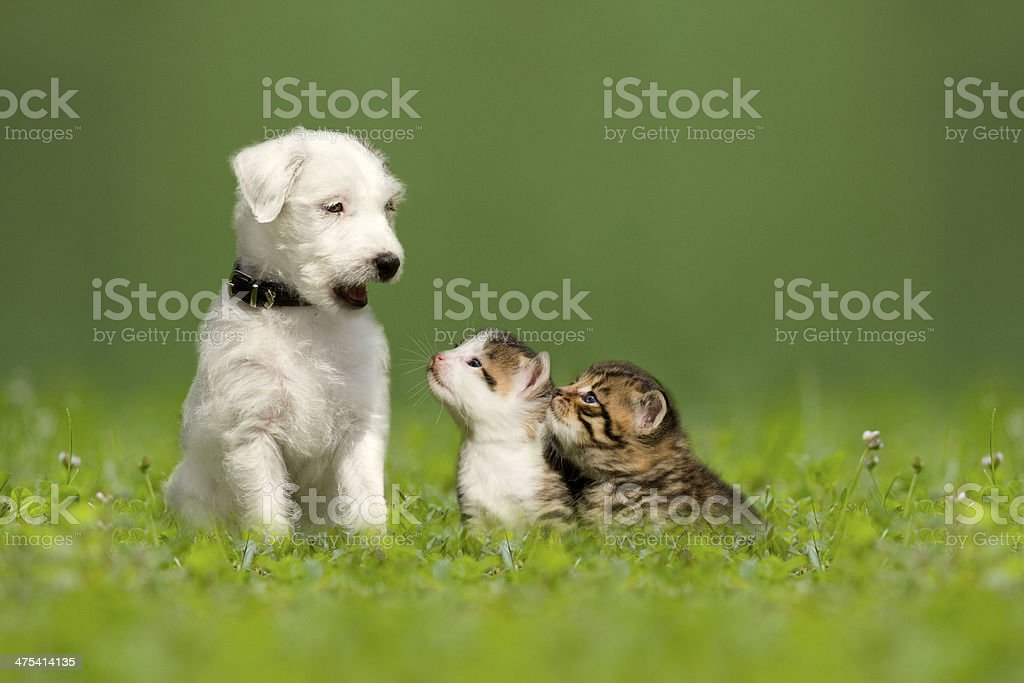 Parson Jack Russell Terrier puppy with two little kittens stock photo