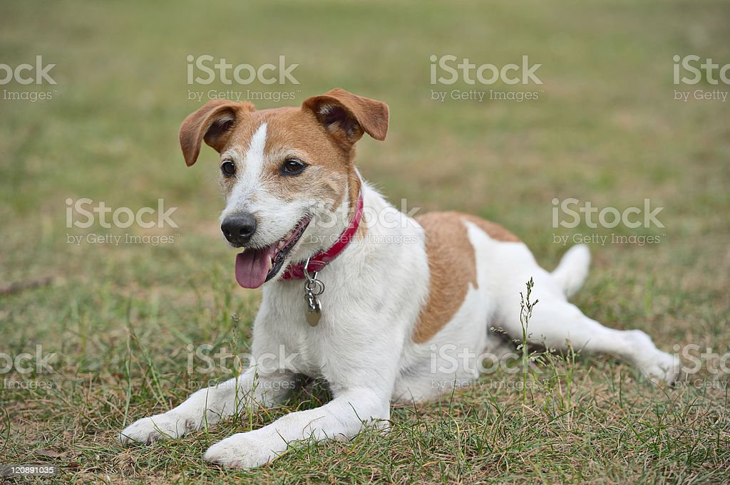 Parson Jack Russell Terrier resting on the grass stock photo