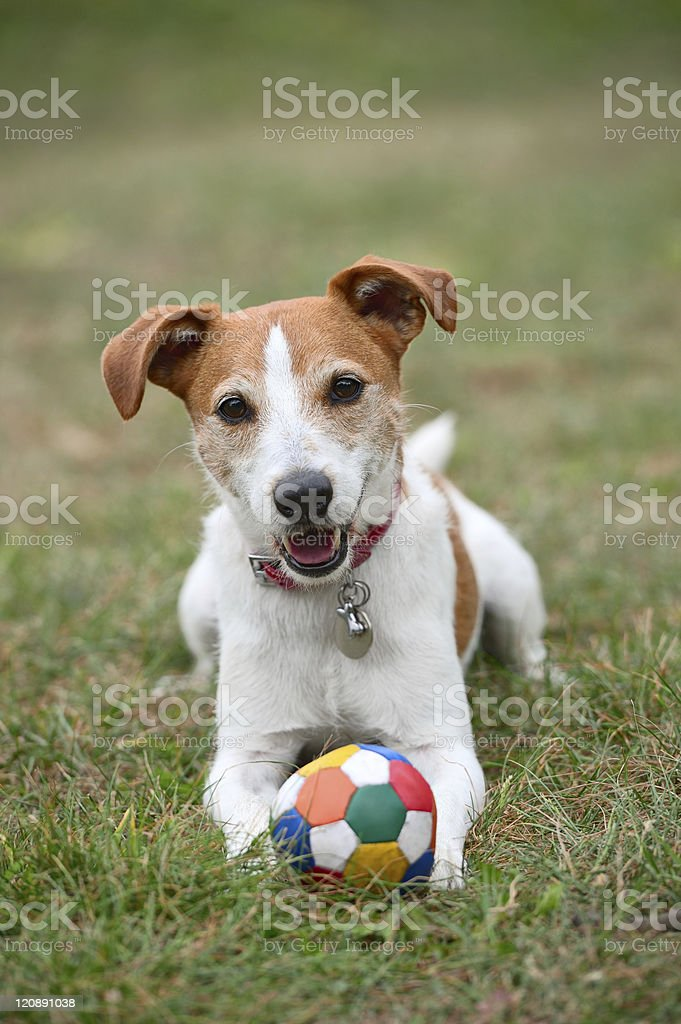 Parson Jack Russell terrier with collar and ball stock photo