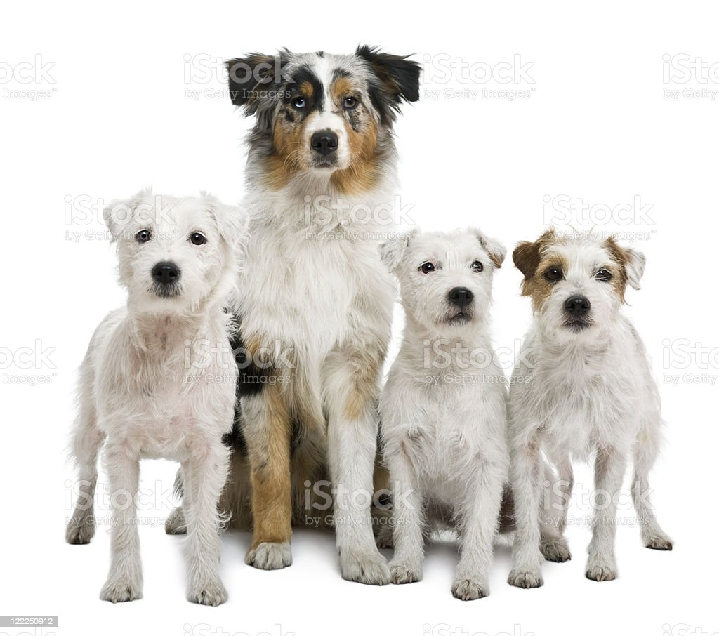 Parson russel terriers and an Australian shepherd, white background. royalty-free stock photo