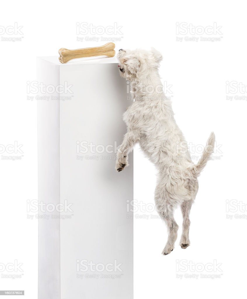 Parson Russell terrier jumping to reach a bone stock photo