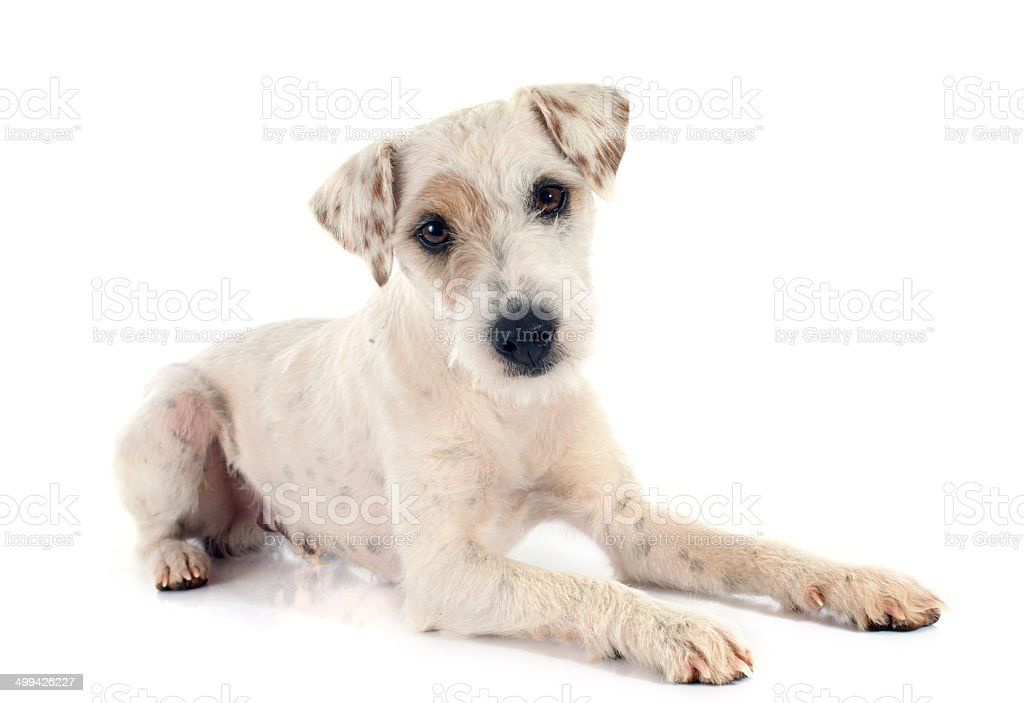 parson russell terrier stock photo
