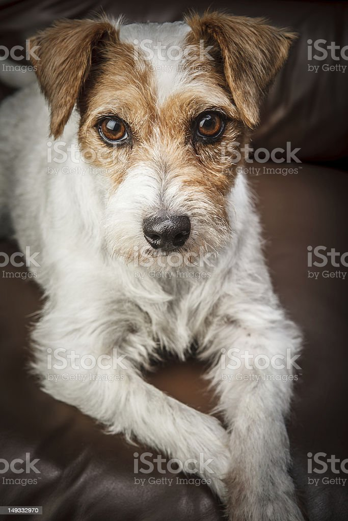 Parson russell terrier portrait stock photo