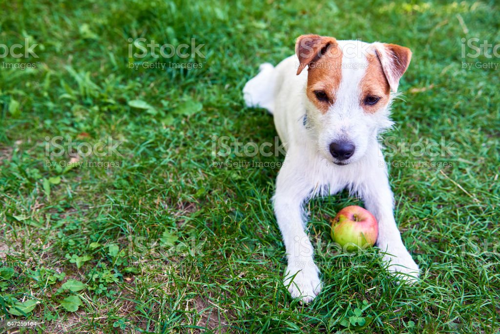 Parson Russell Terrier puppy dog playing with apple stock photo