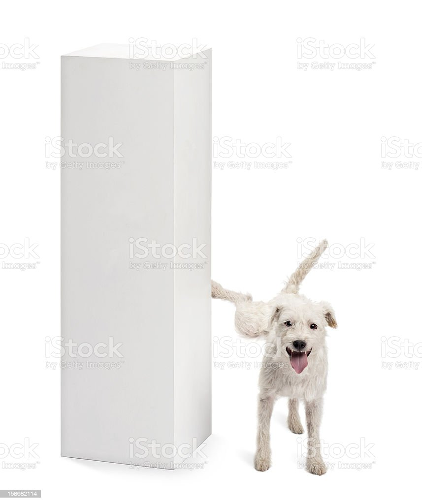 Parson Russell terrier urinating on a pedestal against white background stock photo