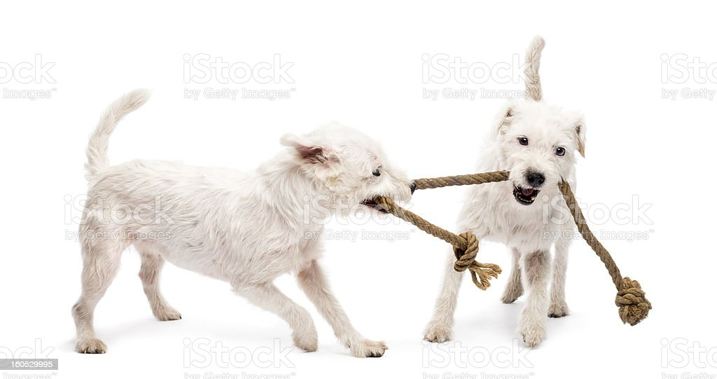 Parson Russell terriers playing with a rope against white background stock photo