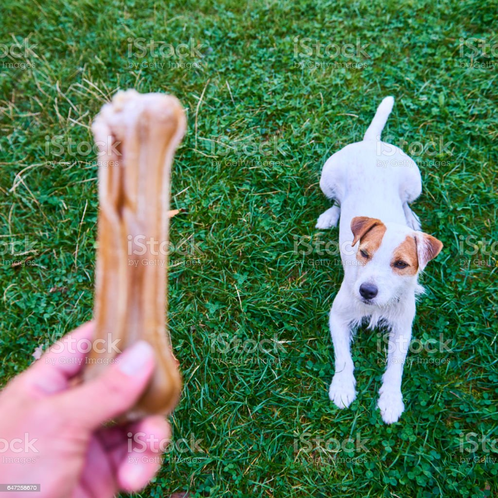 Parson Terrier dog sitting, looking and waiting for bone stock photo