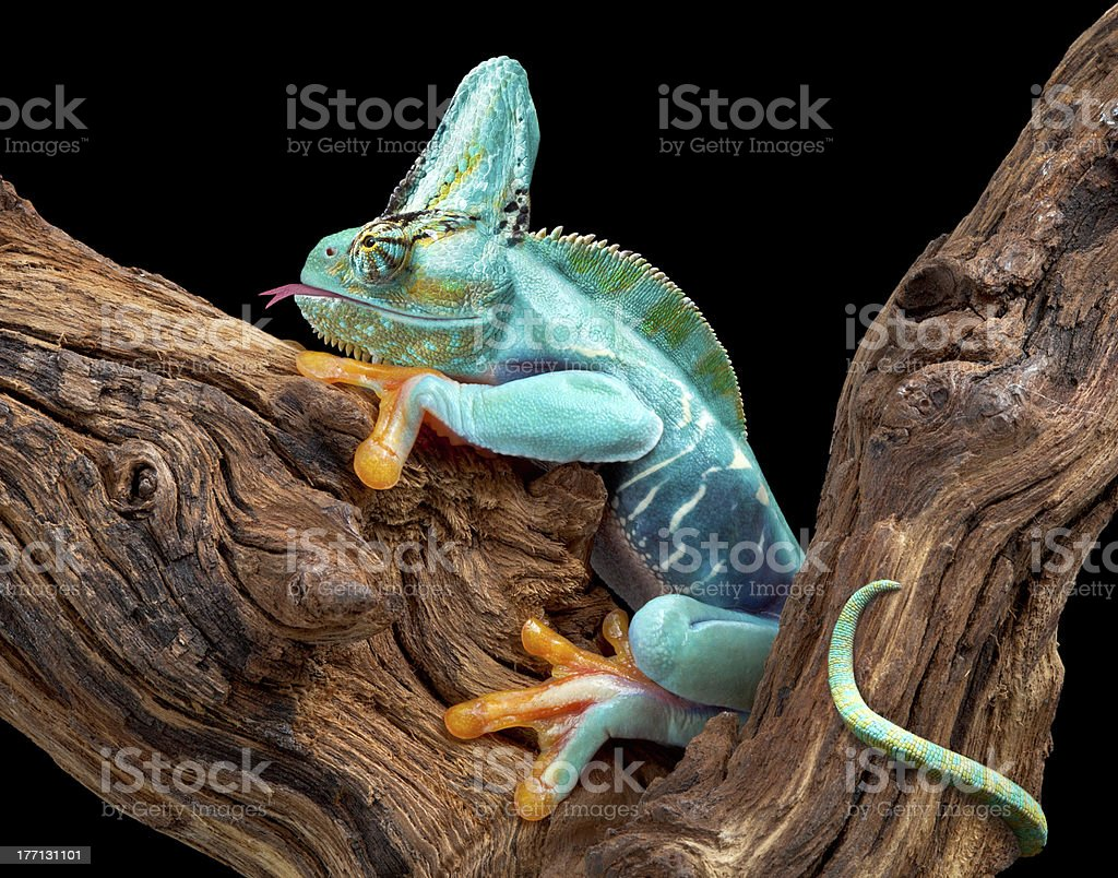 Part frog and chameleon stock photo