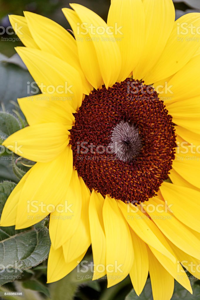 Part of head of sunflower closeup stock photo