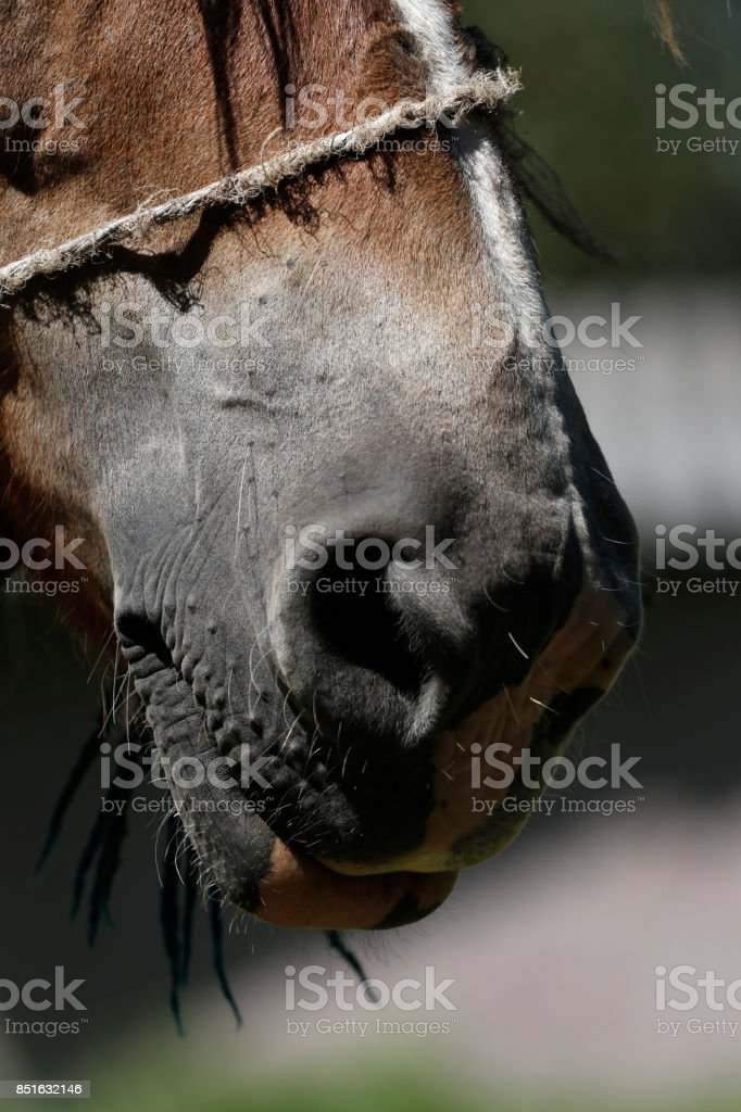 Part of horse face. Big nose and nostrils stock photo