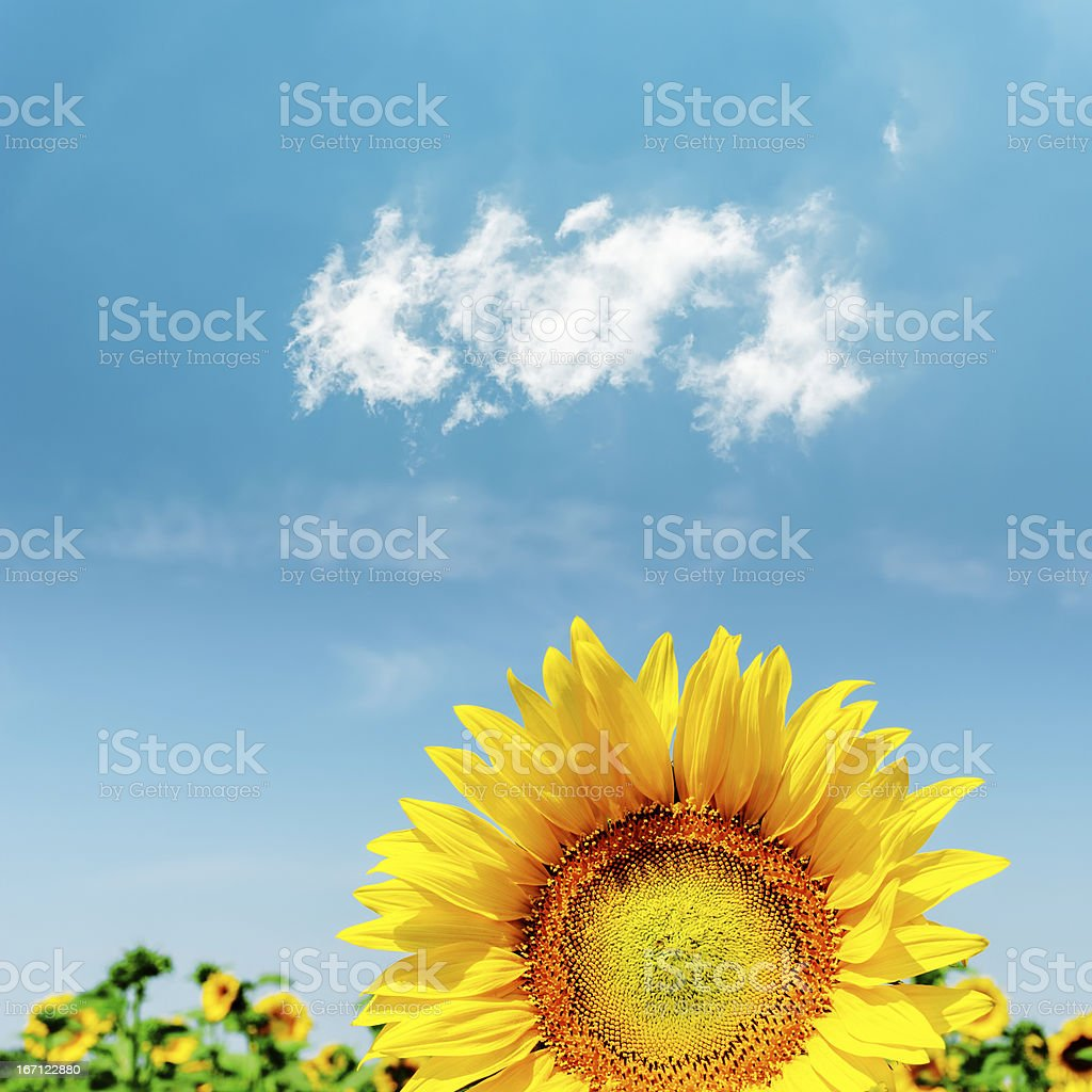 part of sunflower closeup royalty-free stock photo