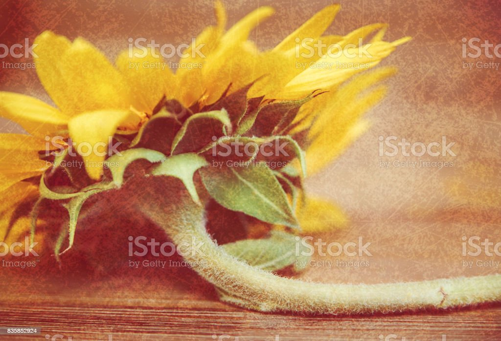 Part of sunflower.Macro.Nature.Wooden background.Selective Focus.Croped. stock photo