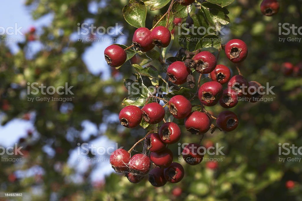 Winter harvest bunch of red berries hawthon haws royalty-free stock photo