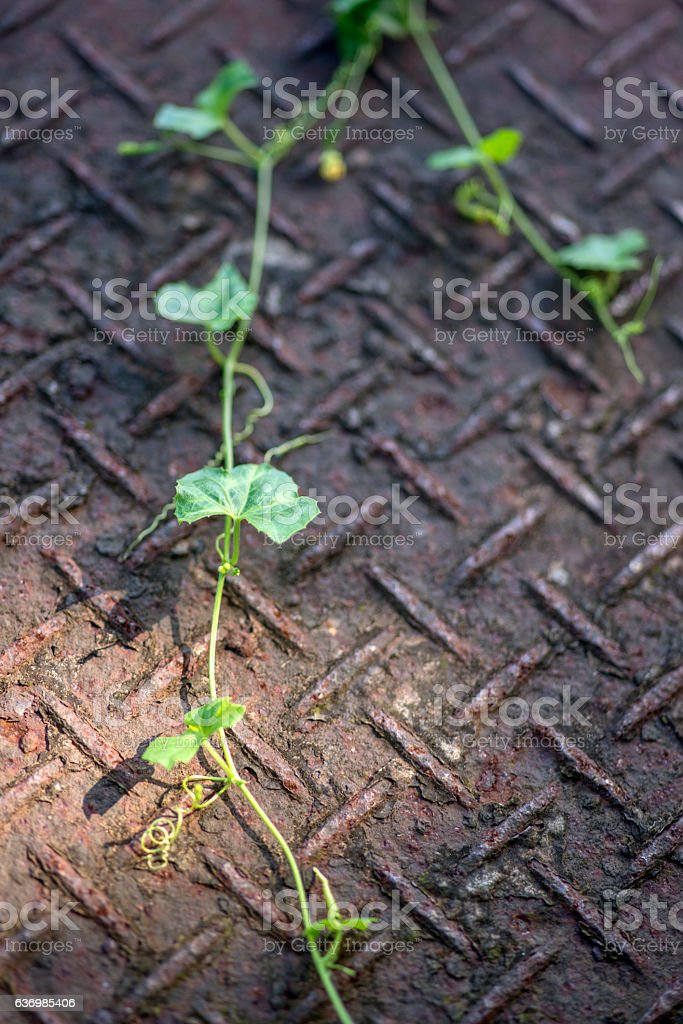 Part of wild vine on iron floor stock photo