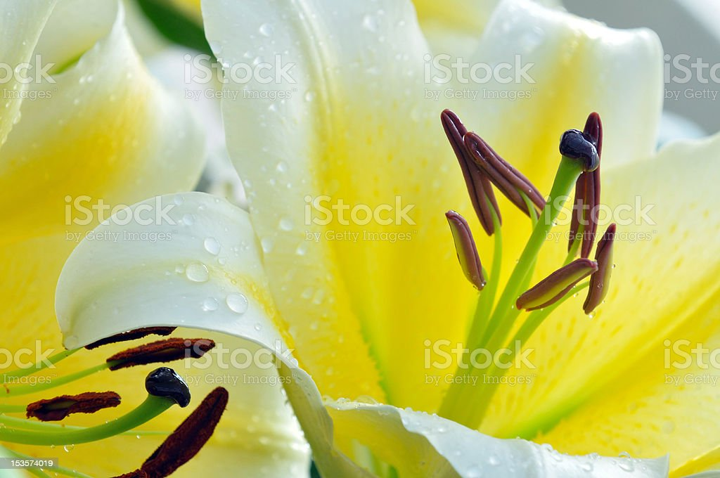 Part of Yellow Easter Lily stock photo