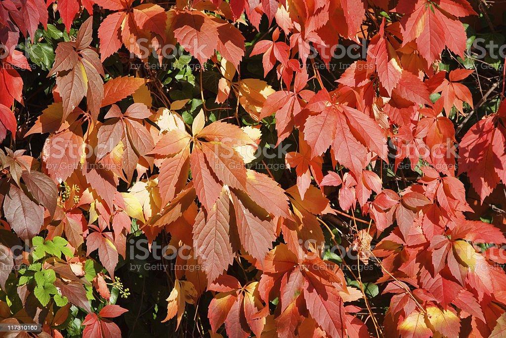 Parthenocissus ( Vine ) royalty-free stock photo