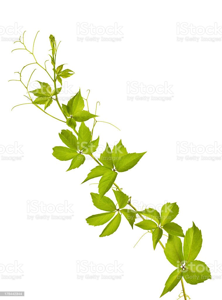 Parthenocissus quinquefolia stock photo
