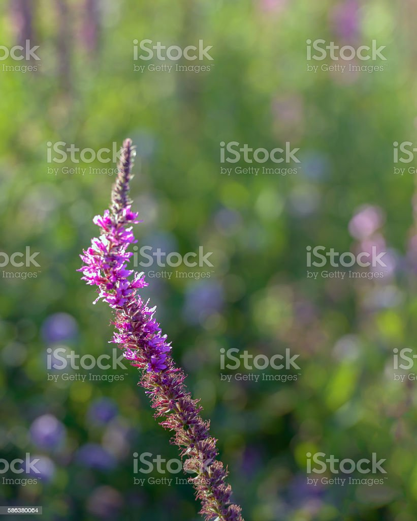 Partially overblown Purple Loosestrife flowers from close stock photo
