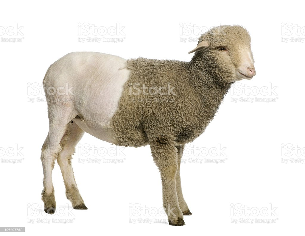 Partially shaved Merino lamb, 4 months old, standing. stock photo