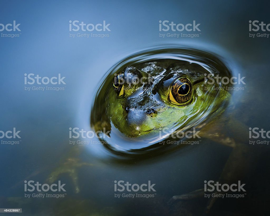 Partially Submerged Bullfrog stock photo