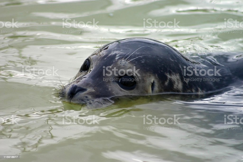 Partially submerged seal royalty-free stock photo