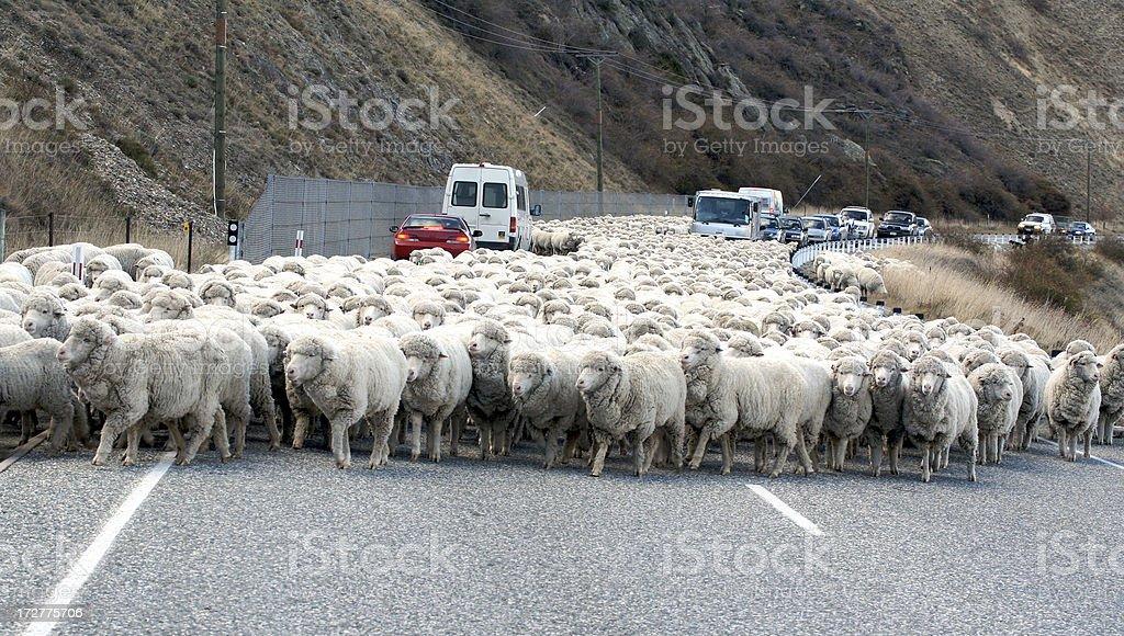 Parting a sea of Sheep royalty-free stock photo