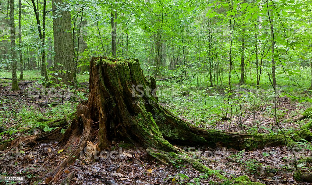 Partly declined stump in front of deciduous trees stock photo