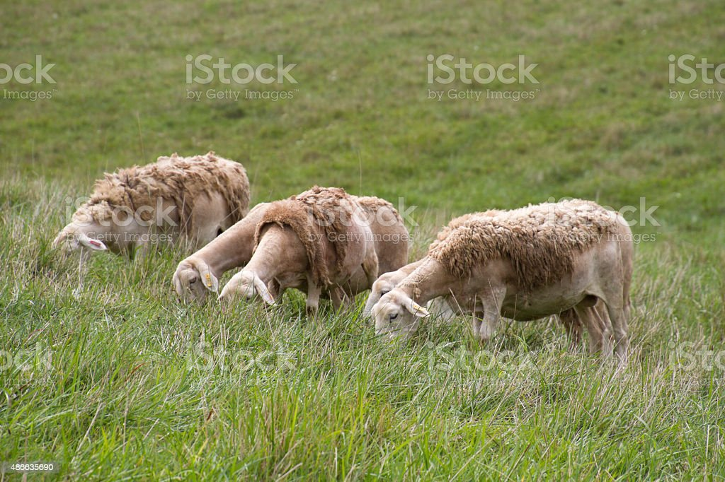 Partly Shaved Wooly Sheep Graze in a Grassy Meadow stock photo