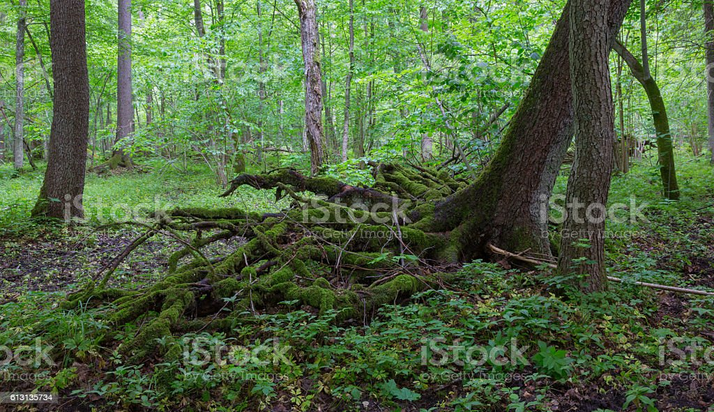 Partly wind fall over spruce tree in summer stock photo