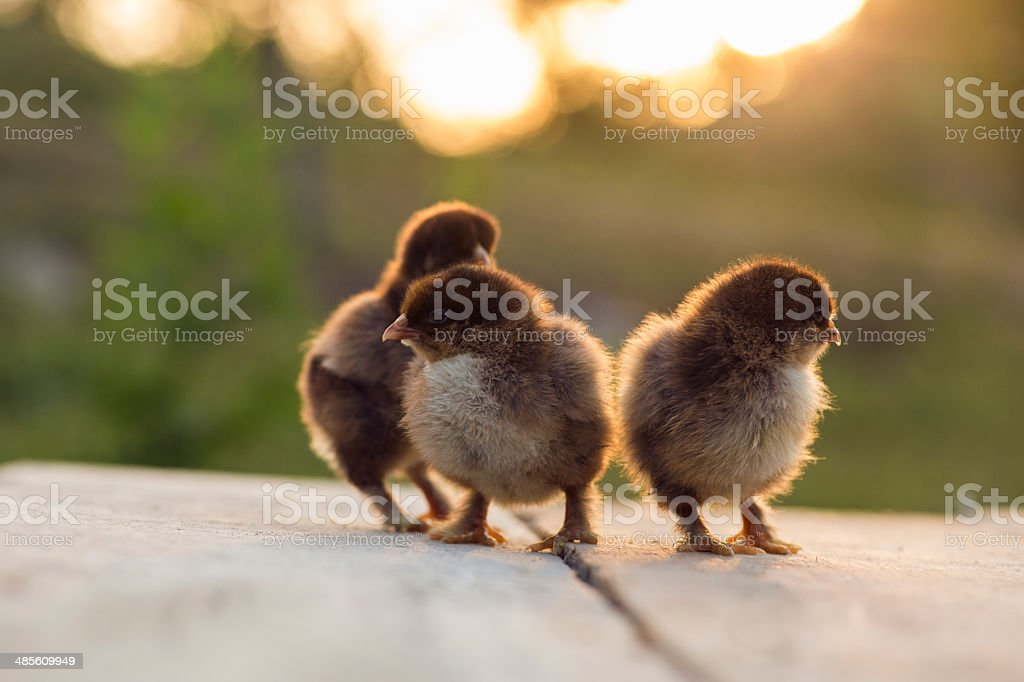 Partridge cochin baby chicks royalty-free stock photo