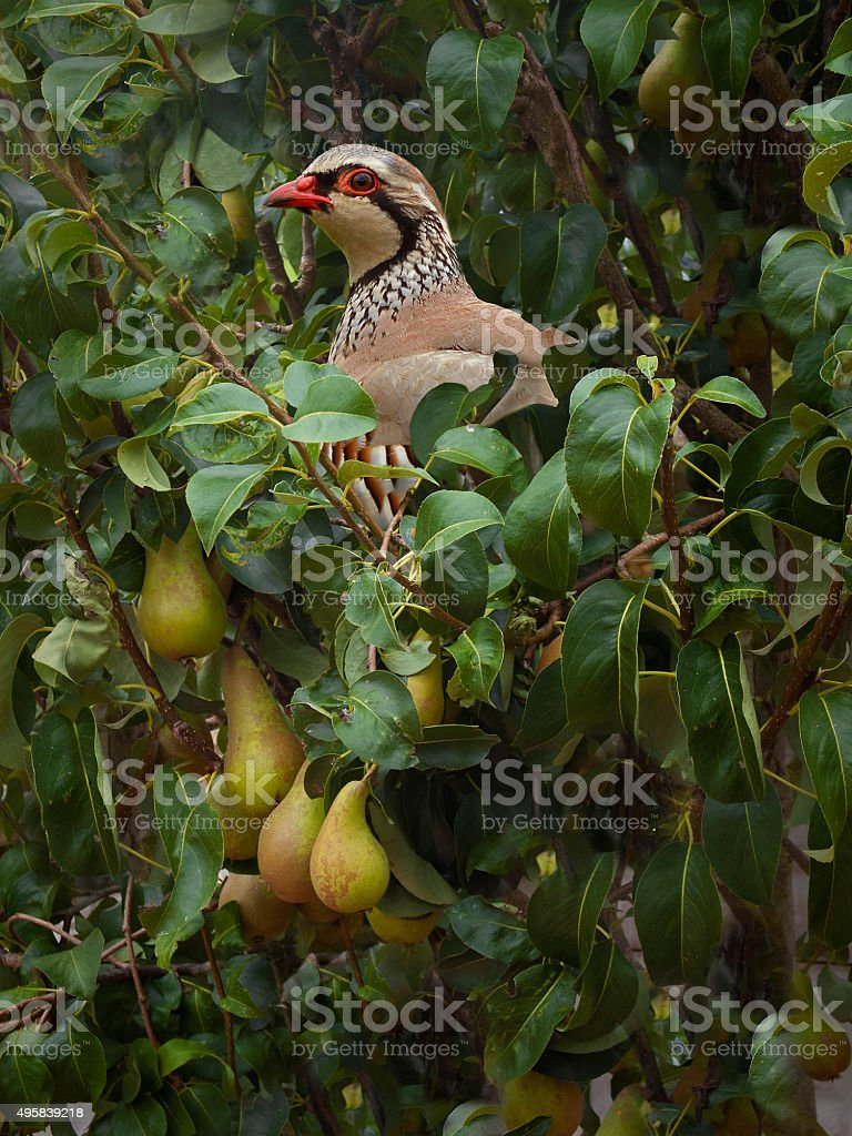 Partridge in a Pear Tree stock photo