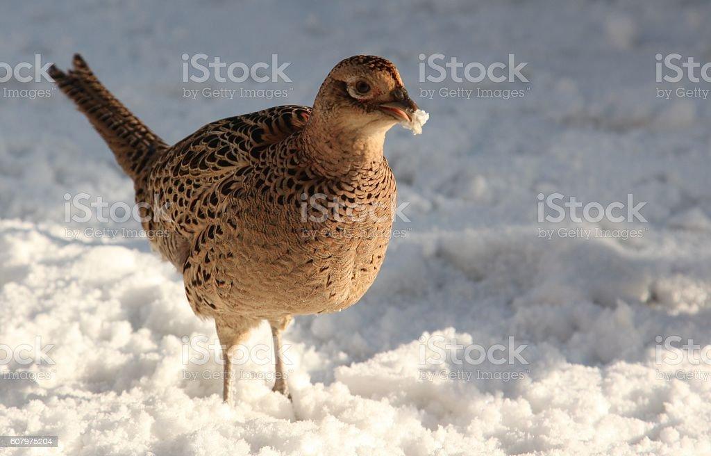 Partridge in the snow stock photo