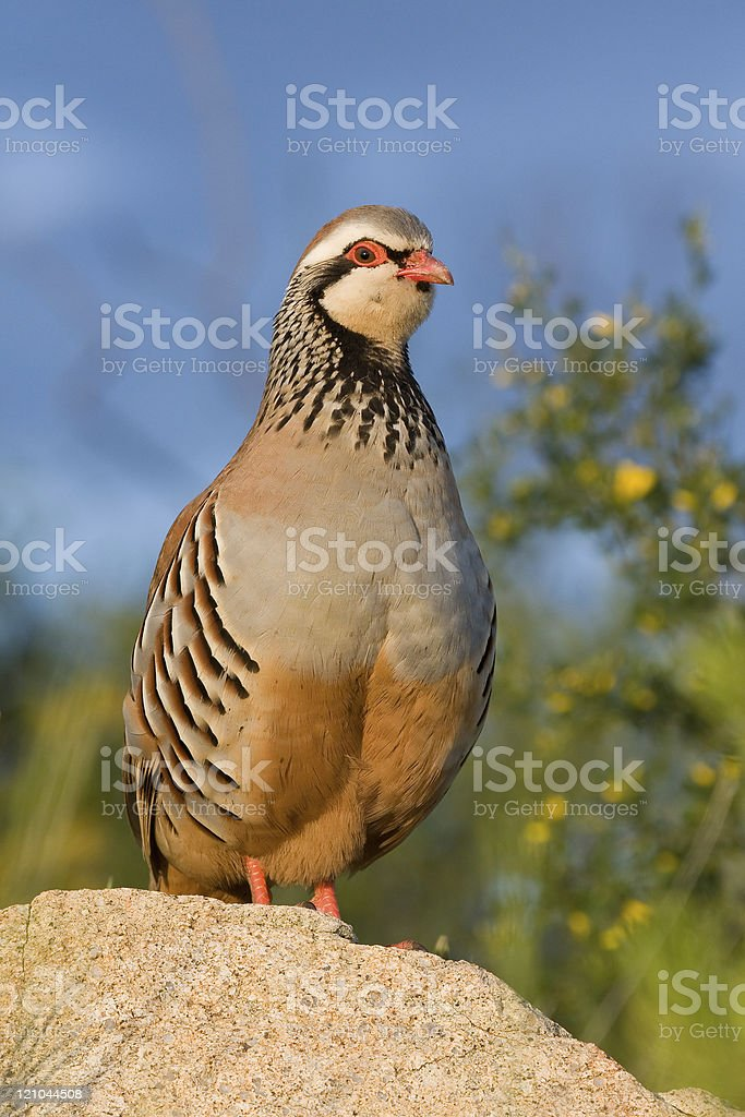 Partridge royalty-free stock photo