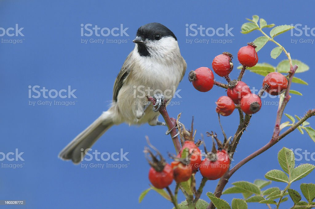 Parus palustris royalty-free stock photo
