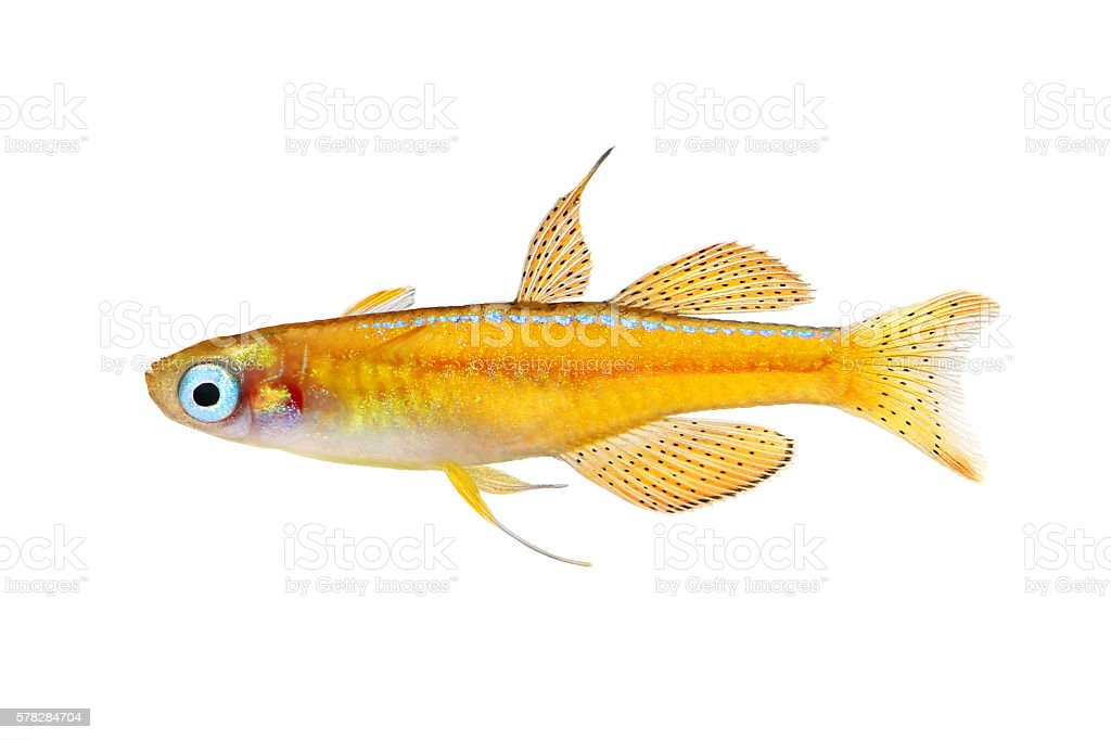 paskai paska's blue-eye rainbowfish - pseudomugil paskai aquarium fish red neon stock photo