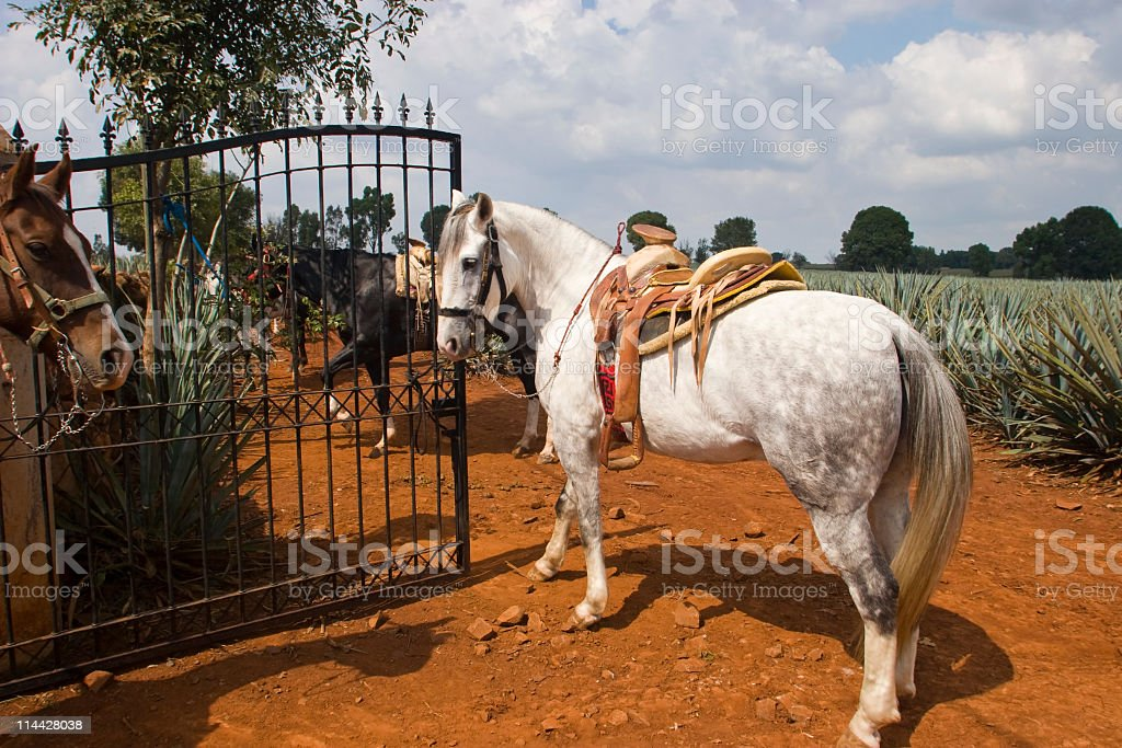 Paso fino horse stock photo