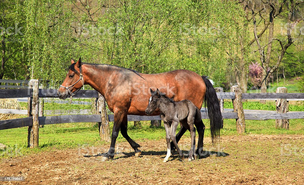 Paso Fino Mare Horse and Colt stock photo