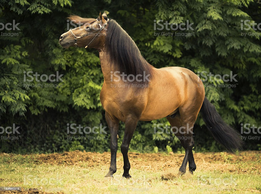 Paso Fino Stallion stock photo