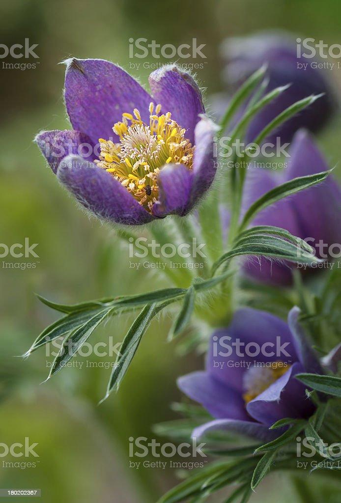 Pasque Flower (Pulsatilla patens) Glows stock photo