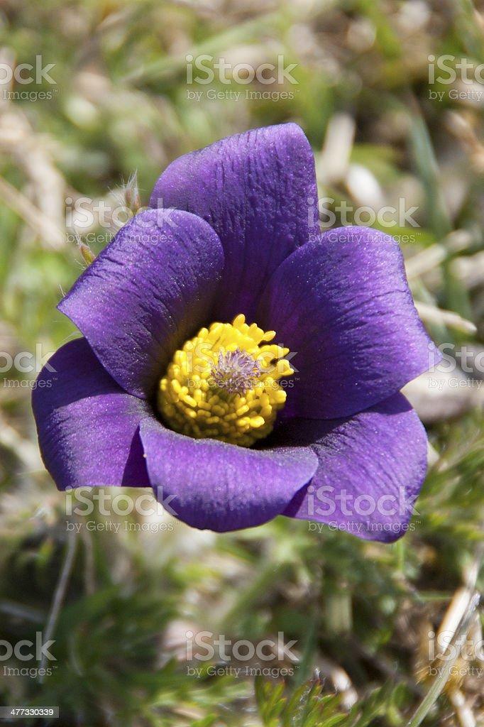 Pasque Flower royalty-free stock photo
