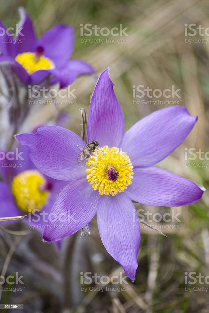 Pasque flower royalty-free stock photo