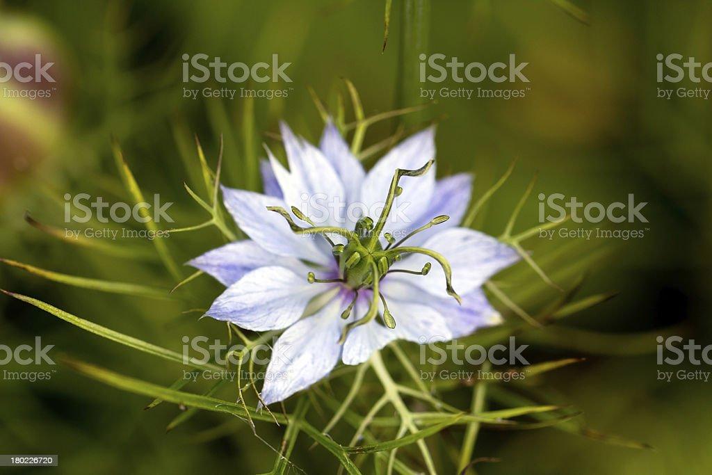 pasque flower, Pulsatilla patens  Pasqueflowers royalty-free stock photo