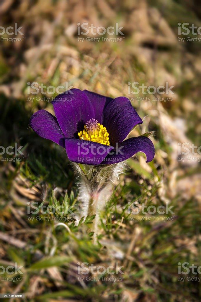Pasque Flower, Pulsatilla vulgaris royalty-free stock photo