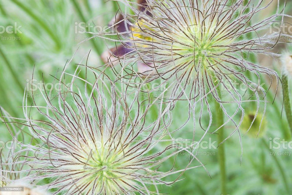 Pasque (Pulsatilla) flower seed head - II royalty-free stock photo