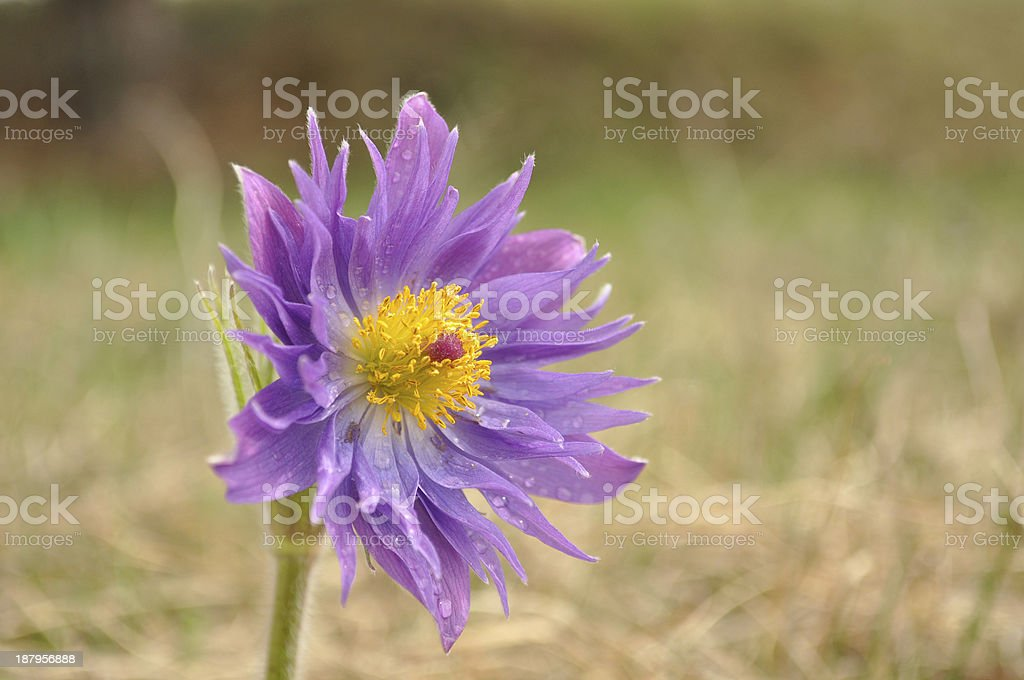 Pasque flowers rare version, Pulsatilla patens stock photo