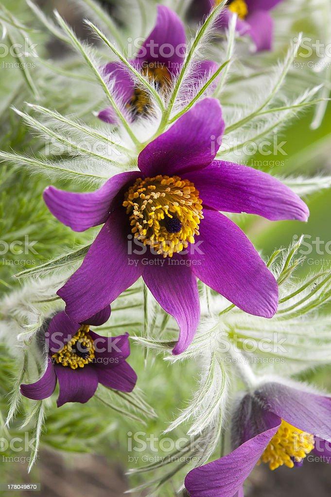 pasqueflower blooming, Pulsat?lla patens stock photo