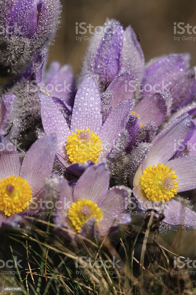 Pasqueflower - early spring flowers stock photo